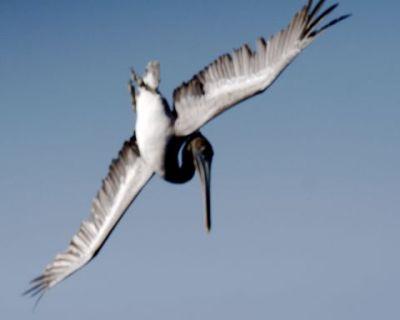 Divebombing pelican